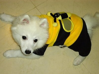 Volley the pure white Japanese Spitz is laying on a tiled floor in a black and yellow bumblebee costume