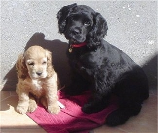 Terry the tan and Koky the black English Cocker Spaniel puppies are sitting in front of a wall and sitting on a burgundy towel. Terry is looking down and Kokys head is tilted to the right