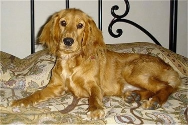 Zoie the tan English Cocker Spaniel is laying on a human's bed and looking forward
