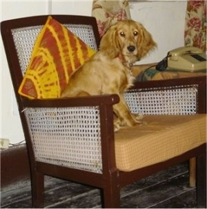 Zoie the tan English Cocker Spaniel is sitting on a chair and there is an orange and yellow pillow behind him.