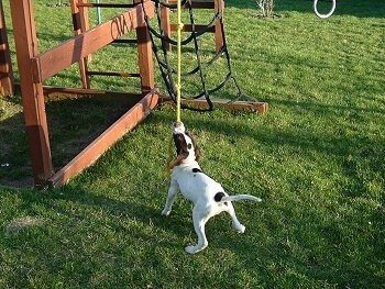 The back of a white with brown Pointer is pulling on a hanging rope that is attached to a red wooden playground set outside in grass.