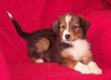 A black, tan and white English Shepherd Puppy is laying on a red blanket.