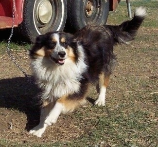 A black, tan and white tri-color English Shepherd is playing on a chain which is attached to a big red truck.