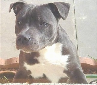 Front view of a wide chested, blue Staffordshire Bull Terrier puppy jumped up against a wall looking to the left.