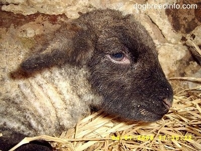 Close Up head shot - baby lamb laying down in hay inside of a stone barn stall.