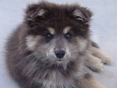 Close Up - A fluffy black and tan Finnish Lapphund puppy is laying outside on a porch