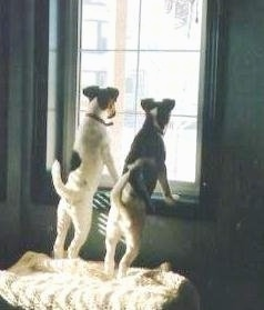 The back of two Smooth Fox Terrier puppies that are standing on an ottoman and up against a window sill and they are looking out of the window. Both dogs have their tails up in the air.