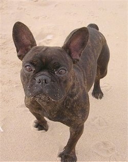A black brindle French Bulldog is standing outside in sand on a beach. There is sand on her face.