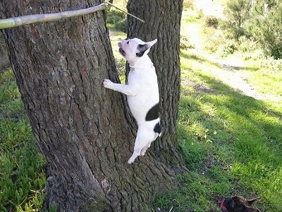 A white with black French Bulldog is running up a tree