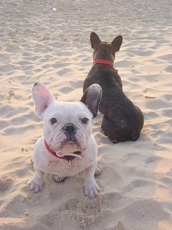A white with black French Bulldog is sitting in the sand and facing forward. Another French Bulldog, this one brown and black is sitting in the sand and facing backwards