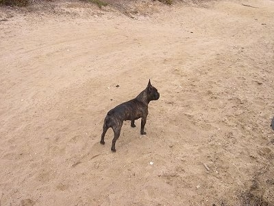 A black brindle French Bulldog is standing on sand at a beach looking to the right of its body