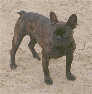 A black brindle French Bulldog is standing on sand at a beach. It has a little bit of sand on its face