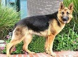 A black and tan German Shepherd is standing on a brick wall that is in front of a flower bed