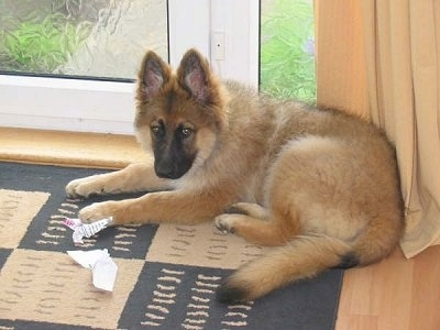 Lupo, the long haired German Shepherd puppy at 18 weeks