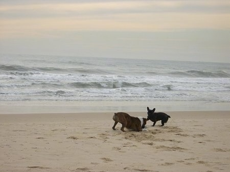 A brown with white Boxer is play bowing in sand with a black French Bulldog running to it on a beach with the ocean next to them.