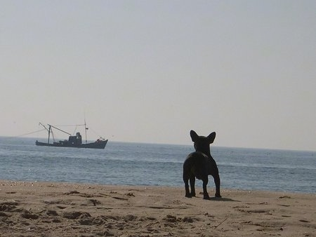 A black French Bulldog is standing on a beach and looking at a ship in the water