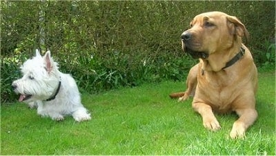 A Westie and a tan Danish Broholmer are laying next to each other in grass with a bush line behind them