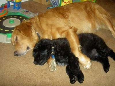 Two dogs sleeping on a tan carpeted floor on their sides with little kids toys behind them - A Golden Retriever behind a smaller black Goldendoodle.