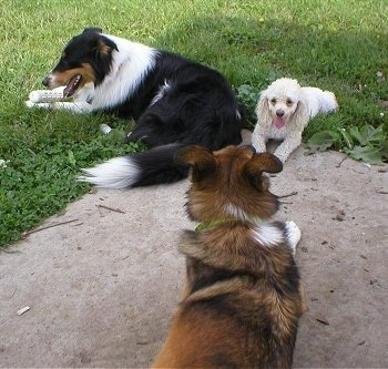A white Miniature Poodle is laying next to a tri-color black, white and tan Collie in the grass. There is a third dog a brown with black and white Shepherd mix on a rock in front of them.