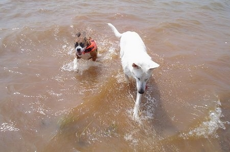 Action shot - A brown with white Boxer wearing a red life jacket is running through water next to a White Shepherd