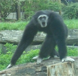 Gibbons standing on a log with its mouth open