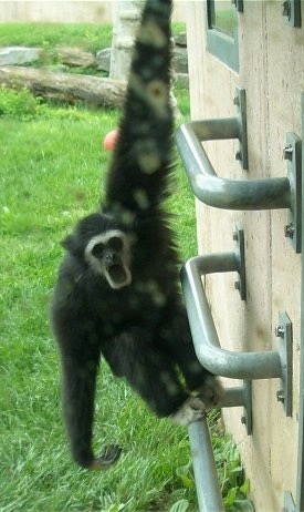 Gibbons hanging off of a bar with its mouth open