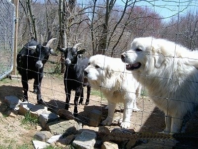 Two Great Pyrenees are standing in front of a fence next to two black Goats.