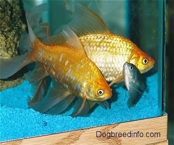 Two large orange gold fish and one blue kissing fish are wading at the front of a glass aquarium. The tank has blue gravel and a tan rock with algea on it.