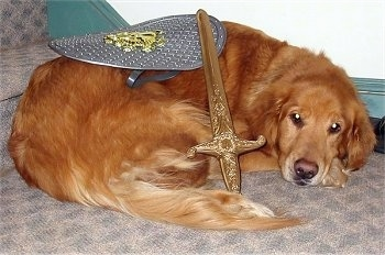 A Golden Retriever dog is laying down in front of a stair case with a golden sword on its side and a silver shield on its back