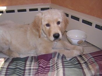 A cream colored Golden Retriever puppy is laying in a corner on a white tiled floor next to a maroon, green and tan plaid dog bed. There is a small ceramic bowl next to it.