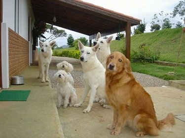 A Golden Retriever is sitting in front of a porch next to three White Shepherds and two white Miniature Poodles