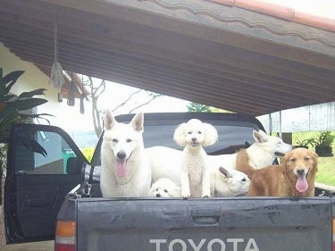 Six dogs in the bed of a black Toyota pick-up truck - A Golden Retriever standing in the corner with three White Shepherds and two white Miniature Poodles.
