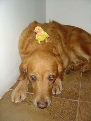 A Golden Retriever dog laying down with his head resting on the brown tiled floor as he looks up at the camera and there is a yellow bird pertched on this back