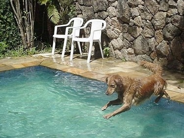 An Already Wet Witch Christina the Golden Retriever is jumping into a pool