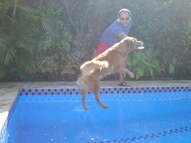 Side View Witch Christina the Golden Retriever is grabbing a frisbee out of a persons hand while she jumps mid-air into a pool