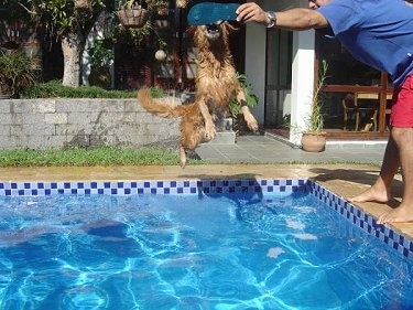 Witch Christina the Golden Retriever is grabbing a flip flop out of a persons hand as she jumps into a pool