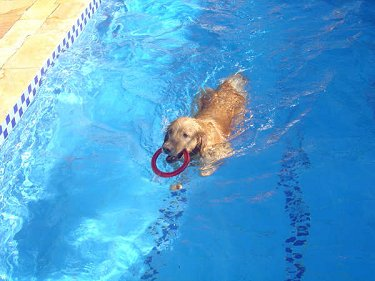 Witch Christina the Golden Retriever is swimming through a pool with a red ring in her mouth