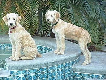 Two tan Goldendoodles are sitting and standing on the corner of a pool. Their coats are shaved short.