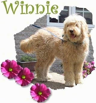 A Goldendoodle is standing on a front porch. The words - Winnie - are overlayed along wiht pink flowers