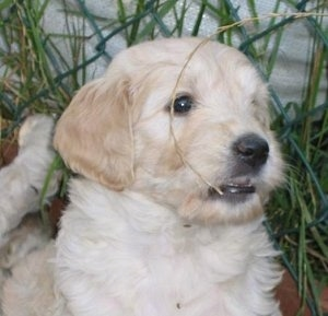 Close Up - A Goldendoodle puppy is being held up over a flower bed