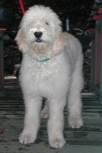 A white and cream Goldendoodle is standing at the top of a staircase in front of a door