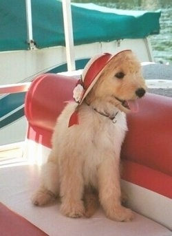 A Petite Goldendoodle is wearing a red sun hat with a white ribbon and flower around it sitting on a red and white pontoon boat looking to the right. Its mouth is open and tongue is out and it looks happy. There is a green and white boat behind it.