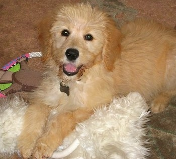 Front side view - A fluffy, golden-cream colored Petite Goldendoodle dog is laying on top of a fluffy white pillow looking up with its mouth open and it looks like it is smiling.