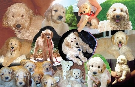 A Collage of full-sized Goldendoodles and Goldendoodle puppies