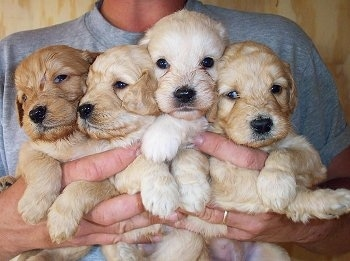 Close up front view - A litter of  4 Petite Goldendoodle puppies are being held up in a persons hands. One pup is red, two are tan and one is cream in color.