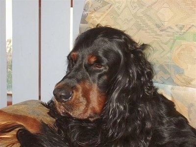 Close Up - A black and tan Gordon Setter is laying in a tan chair next to a sliding door that has white blinds hanging from it.