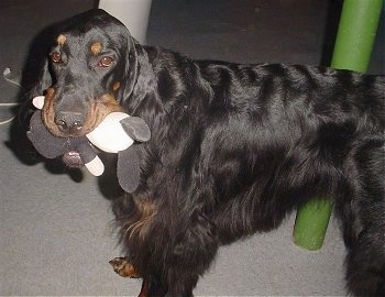A black and tan Gordon Setter is standing next to a green pole with a plush toy in its mouth