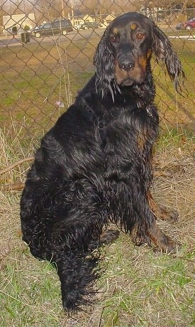 A dripping wet black and tan Gordon Setter is sitting in grass in front of a chain link fence.