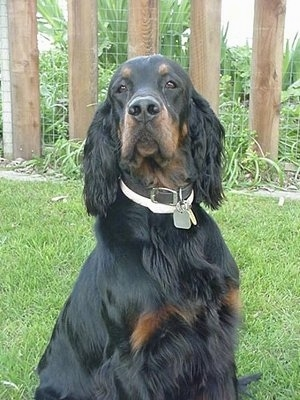 A black and tan Gordon Setter is wearing a black collar and a white flea and tick collar sitting outside in a yard with a wooden fence next to it.