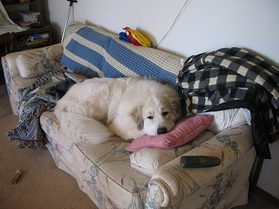 A Great Pyrenees is laying on top of a pink pillow on a tan couch